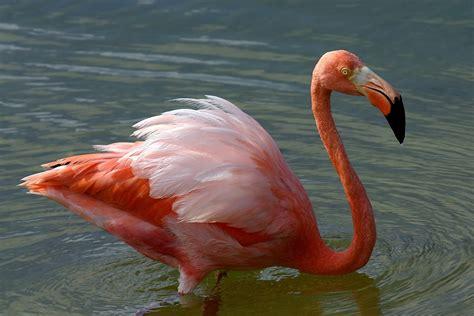 american flamingo wikipedia