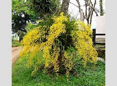 Oncidium sphacelatum Orchids Pinterest