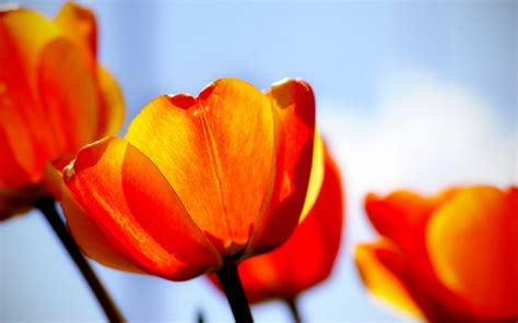 tulips wallpapers hd wallpapers id