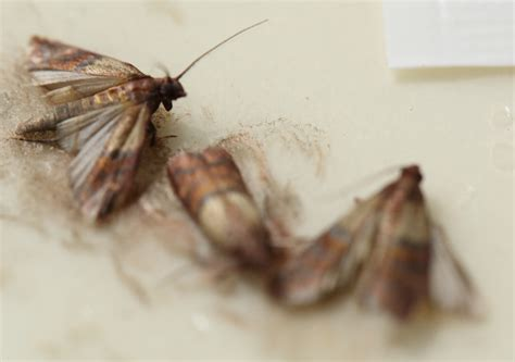 How To Get Rid Of Kitchen Moths Wow Blog
