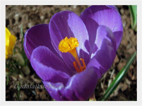 Gadalaiku skices ...: Pavasara košums...