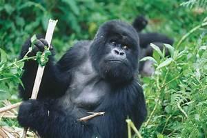 File:Silver back gorilla - Gorilla beringei.jpg