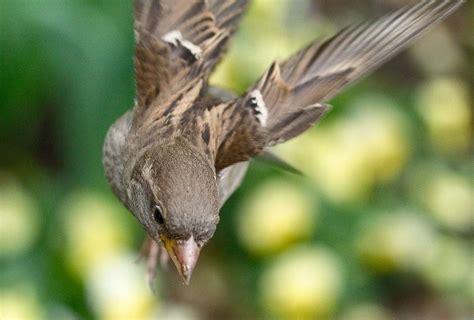 flying sparrow sparrow caught  flight  karl johan