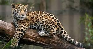 Jaguars Otters and Jungles | Guyana Vacations| Goway Travel  Jaguar