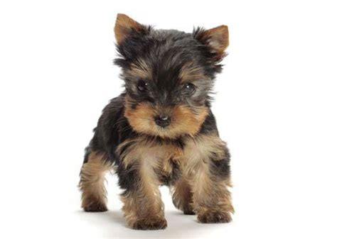 Dogs That Dont Shed Or Grow by The 12 Most Talkative Breeds