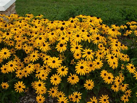 black eyed susans quot echoes of eden quot dayle king searle blooming now black eyed susan