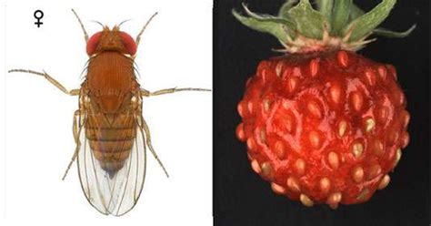 Wild Strawberry That Inhibits The Development Of The