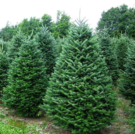 fraser fir christmas tree 6 7 63 00 jarrell