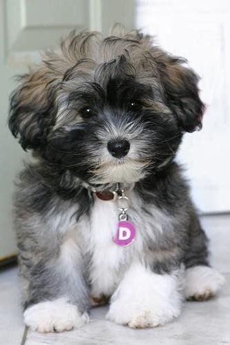 25 best ideas about teddy bear dogs on pinterest teddy