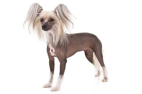 Ķīnas cekulainais suns - Whisker.lv   Suņu šķirnes - Ķīnas ...