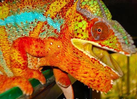 do all chameleons change color chameleon colors images