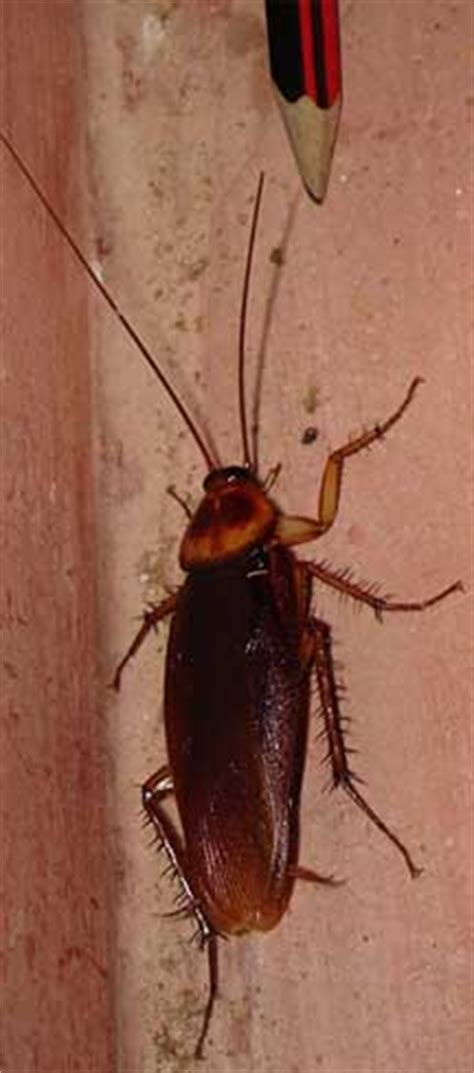 flying cockroaches  india american cockroach whats
