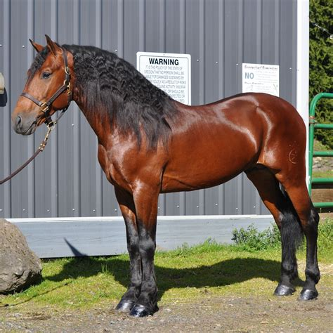 friesian horse quarter cross horses breeds stallion mare qh american bay pretty most riding both beauty brown crosses training friesians