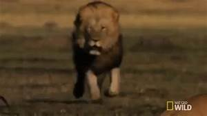 Lion GIFs - Find & Share on GIPHY