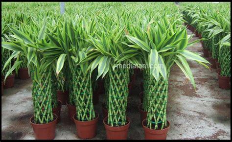 merawat tanaman bambu rejeki