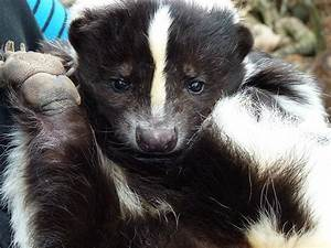 How To Get Rid Of Skunks Naturally  Complete Diy Guide