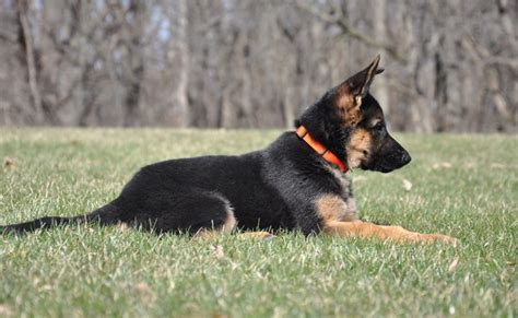 Vollmond Breeder Of German Shepherd Puppies Dogs For Sale Chicago Illinois