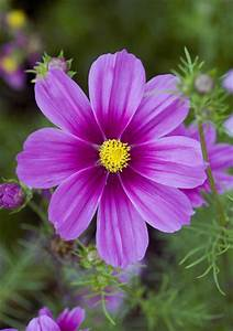 Cosmos Bipinnatus Versailles Tetra Photos Design Ideas