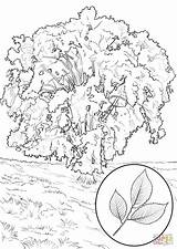 Coloring Elm Tree Pages American Magnolia Southern Trees Drawing Clipart Printable Supercoloring Designlooter Getdrawings America Categories sketch template