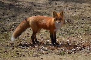 a fox vixen in algonquin park ontario