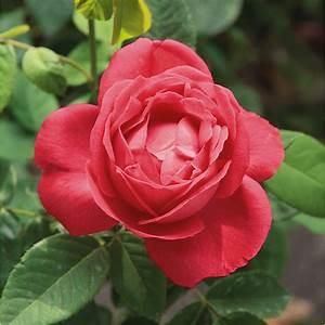 Alte Rosensorten Stark Duftend : alte rosen historische rosensorten manufactum ~ Michelbontemps.com Haus und Dekorationen
