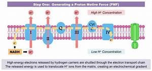 The Proton Gradient