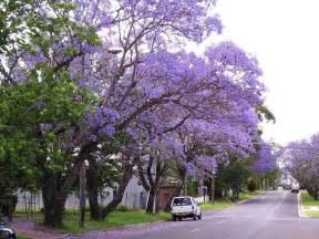 jacaranda trees spain delicate fern like leaves purple flowers spain info