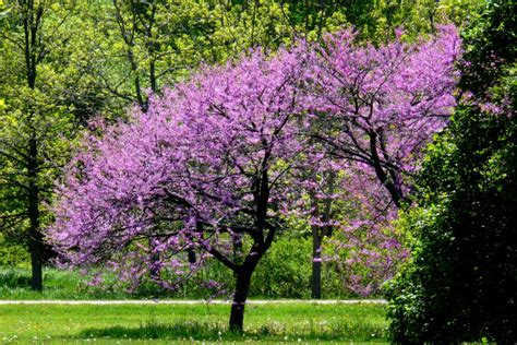 eastern redbud trees 301 moved permanently