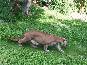 Regular cougar sighting in North Carolina - PoC