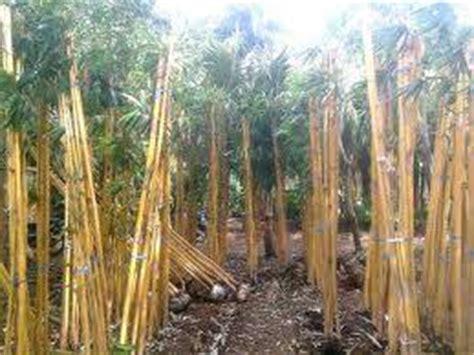 Dino Kuning dinomarket 174 pasardino pohon bambu jepang bambu kuning