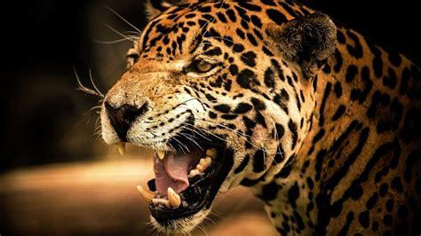 yaguar interesnye fakty  zhivotnykh jaguar animal youtube