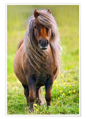 shetland pony posters  prints posterloungecouk
