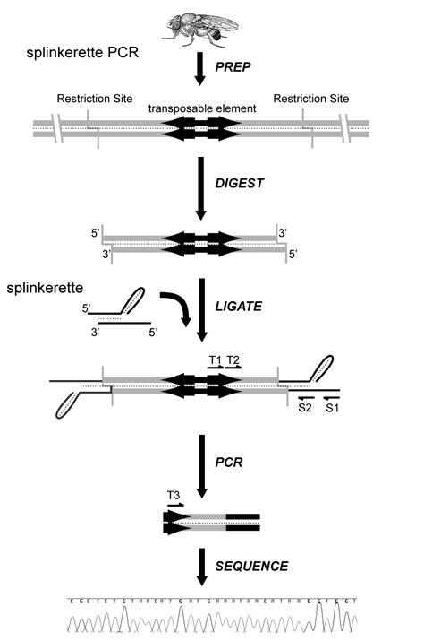 Splinkerette PCR | Potter Lab