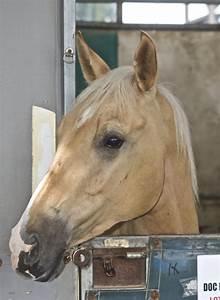 File:Palomino Quarter Horse.jpg - Wikimedia Commons