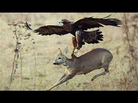 Deer hunting with Falcon - YouTube