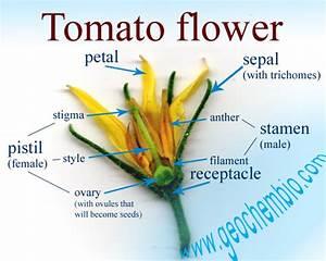 Do Tomato Plants Need Pollination