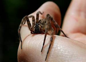 Wolf Spiders Are Beneficial Insects That Will Bite HGTV