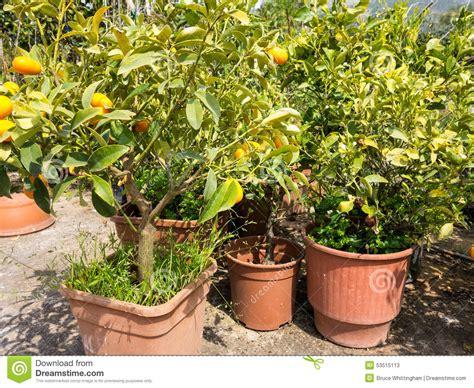 Small Orange Trees In Pant Nursery Stock Photo Image