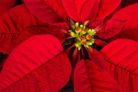 weihnachtsstern wieder zum blühen bringen weihnachtsstern wieder zum bl 252 hen bringen anleitung plantura