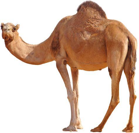 Camel Images Hq Camel Png Transparent Camel Png Images Pluspng