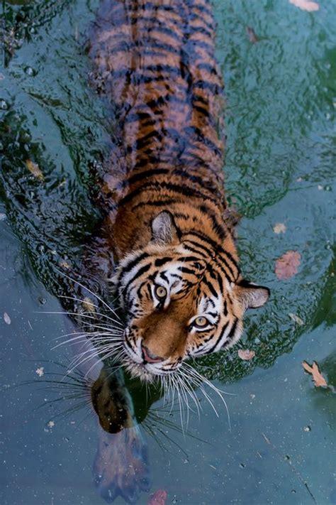 Indian Tiger Anicelittle Tumblr Animals