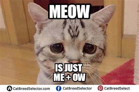 Sadness Meme - sad cat memes cat breed selector