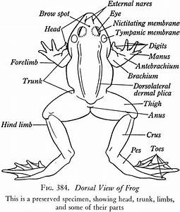 External Frog Diagram Dorsal