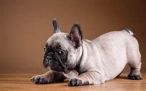 Hundebekleidung Französische Bulldogge : foto welpe franz sische bulldogge hunde tiere ~ Frokenaadalensverden.com Haus und Dekorationen