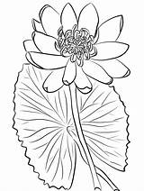 Coloring Pages Lily Water Printable Sheets Lilies Adult Onlinecoloringpages Frozen Sheet Elsa sketch template