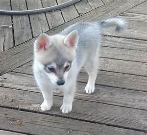Alaskan Klee Kai Toy Full Grown | www.pixshark.com ...