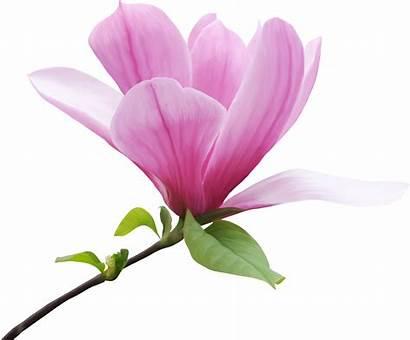 Magnolia Clipart Flower Transparent Lavender Webstockreview Afd