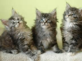 maine coon cat for wallpapers maine coon kittens