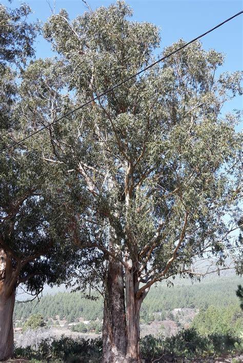 Eukalyptus Garten Pflanzen by Eukalyptus Baum Pflanzen F 252 R Nassen Boden