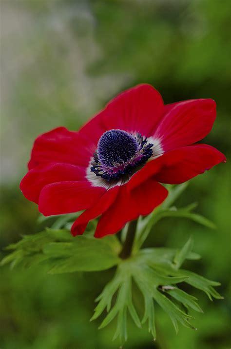 fiore rosso fiore rosso juzaphoto